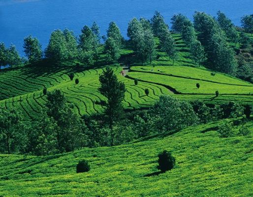Tea state in Munnar