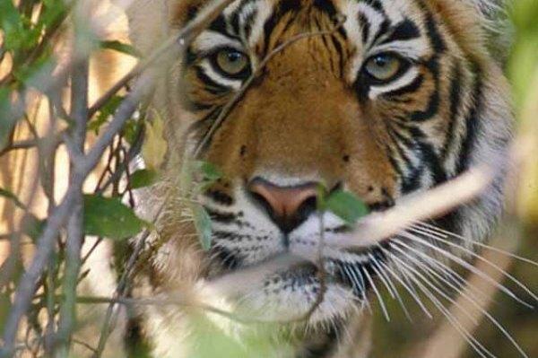 Taj & Tiger Tour