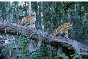 Tiger Safari in Central India