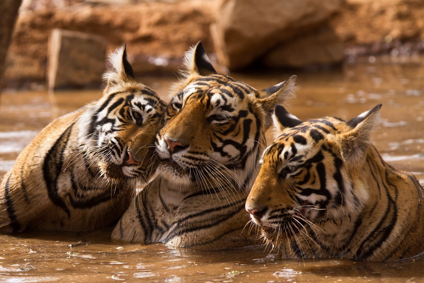 Sighting of Tigers in Ranthambore